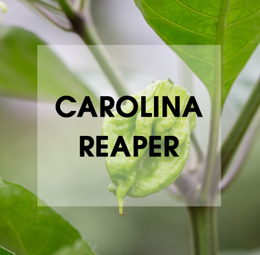 Carolina Reaper Chili Wissen