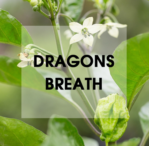 Dragons Breath Chili
