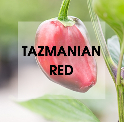 Tazmanian Red Pflanze Chili